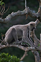 Monkey, Yala National Park, Sri Lanka
