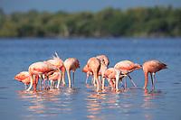 American Flamingos (Phoenicopterus ruber). feeding. Rio Lagartos Biosphere Reserve, Yucutan, Mexico. July.