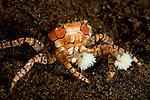 Boxer Crab, Lybia tessellata, Seraya Secrets, Tulamben, Bali, Indonesia, Pacific Ocean