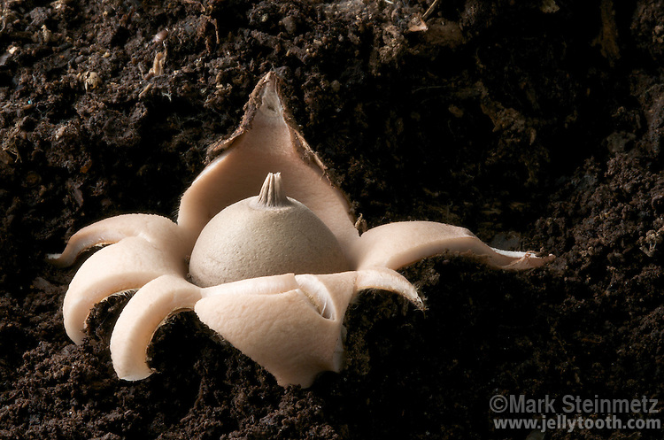 Geastrum saccatum. Sometimes referrred to as the Nested Earthstar, the fruitbody starts off as an egg-shaped ball with a pointed beak, and upon maturity, the outer skin splits at the apex into star-like rays that spread and recurve beneath the base. Like other puffballs, powder-like spores are ejected in bursts caused by raindrops, or escape more gradually by wind currents blowing across the pore opening. Often found fruiting at base of tree stumps. Widespread across North America.