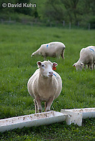 0512-0903  Sheep Feeding at Trough, Dorset Ewes, Ovis aries  © David Kuhn/Dwight Kuhn Photography
