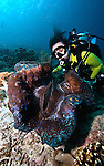 East Indonesia, Raja Ampat, a concentration of giant clam - Tridacna gigas, Giant clam, endangered