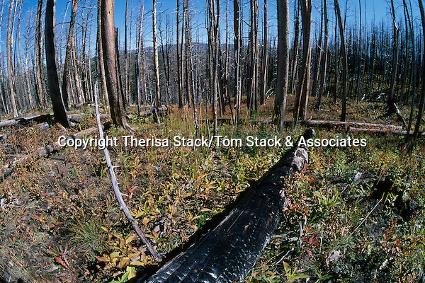 Yellowstone National Park, regrowth 9 years after the fire.  1997