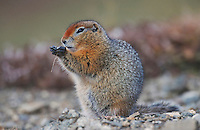 Arctic Ground Squirrel (Spermophilus parryii), adult eating, Alaska, USA