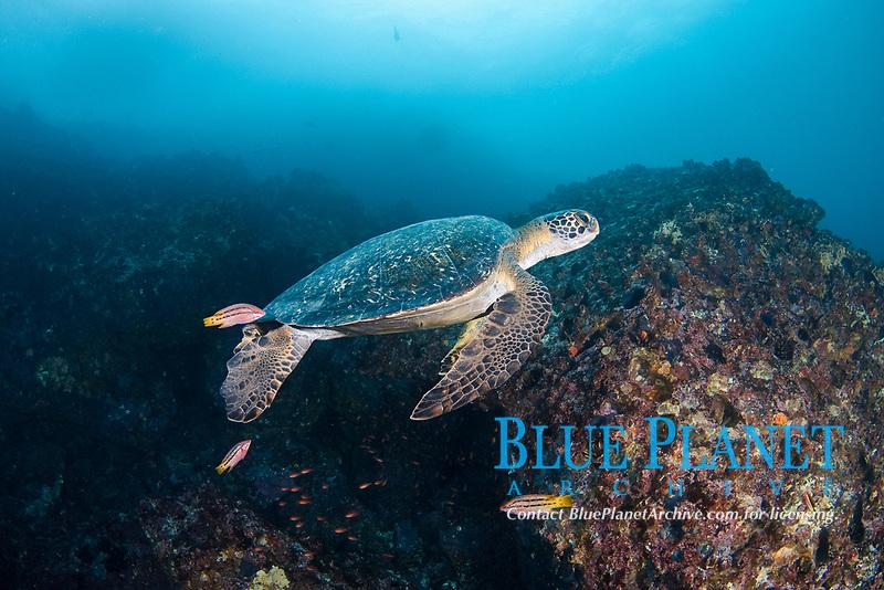 An endangered species, this green sea turtle, Chelonia mydas, is being cleaned by Mexican hogfish, Bodianus diplotaenia, at Gordon Rocks, Galapagos Archipelago, Ecuador.