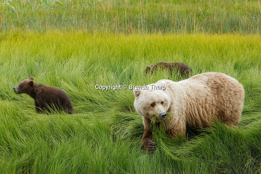 Coastal Grizzly mother and cubs eat sedges in Lake Clark National Park, Alaska.