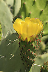 Israel, Negev, Prickly Pear Cactus in Beeri forest