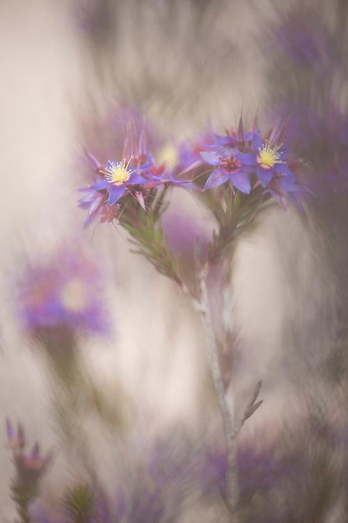 Wildflower country. Eneabba, Western Australia.