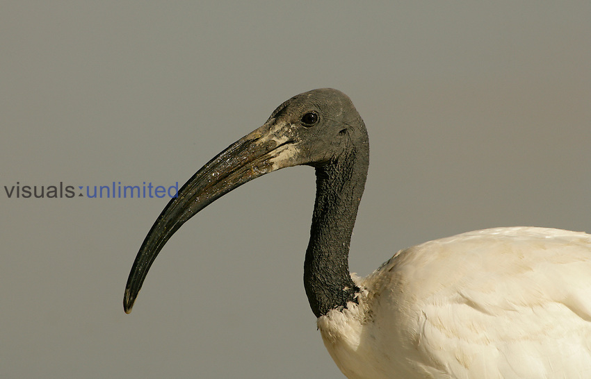 Sacred Ibis head ,Threskiornis aethiopicus, Ngorongoro Crater, Tanzania, Africa.