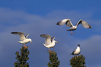 540052002 wild herring gulls larus argentatus land and perch on the top of large fir trees in the northwest territories of western canada