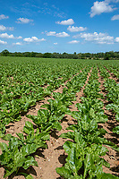 Sugar beet crop - Norfolk, June
