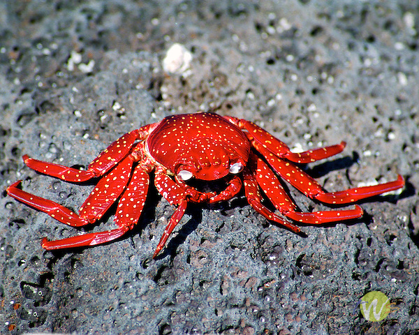 Red crab. Galapogos. Pacific Ocean