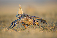 Adult male Sharp-tailed Grouse(Tympanuchus phasianellus) displaying on a lek. Ft. Pierre National Grassland, South Dakota. April.