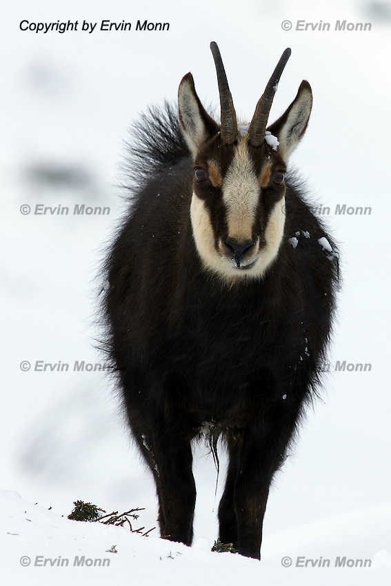 Front view of a chamois buck standing in the snow and looking to the photographer