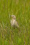 Sprague's Pipit was a particularly elusive bird hiding in the prairie grass.