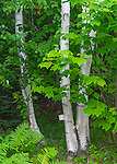 Acadia Naional Park, Maine:<br /> White birch (Betula papyrifa) and maple forest detail, summer.