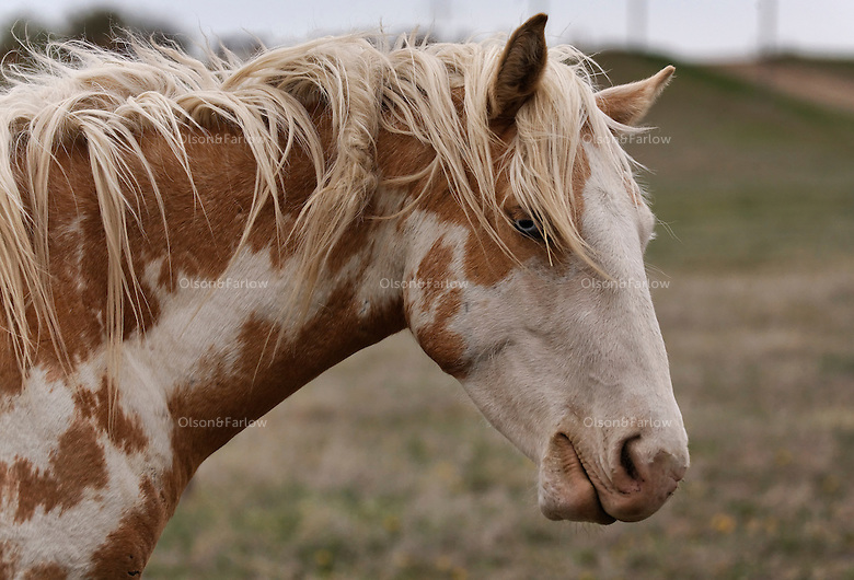 Shoshone, the blue-eyed Palomino/Paint in the Catnip herd with the International Society for the Protection of Mustangs and Burros. <br /> Three herds are  cared for at the oldest wild horse organization founded in 1960.  Karen Sussman is the third president. Wild Horse Annie, Velma Johnston, was the first. Annie, along with Helen Reilly worked together for the passage of the 1971 Wild Horses and Burros Act to protect horses from slaughter and inhumane treatment.