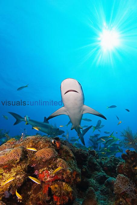 Caribbean Reef Sharks, Carcharhinus perezi, over coral reef, West End, Grand Bahamas, Atlantic Ocean.