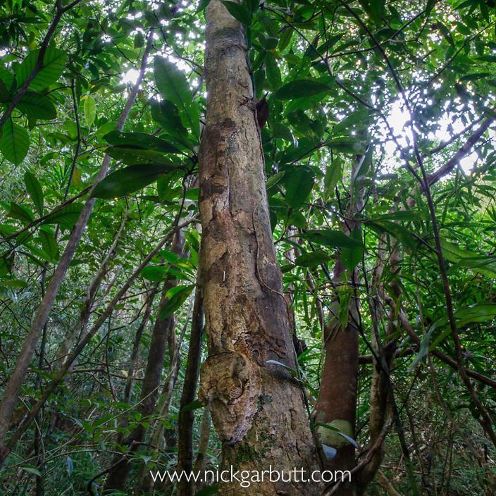 Leaf-tailed Gecko (Uroplatus fimbriatus) resting on tree trunk in rainforest understorey. Marojejy National Park, north east Madagascar.