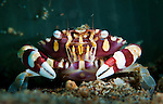 harlequin swimming crab: Lissocarcinus laevis, in front of tube-dwelling anemone, Bunaken National Park, Indonesia