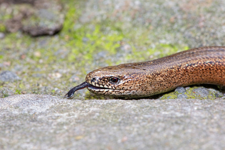 Slow-worm (Anguis fragilis) moving in between natural stone paving with tongue out. Slow worm do have a pair of eye so a little mis leading to refer to them as blind worms. One of the biggest causes of mortality in slow worms in suburban areas is the domestic cat, against which it has no defence. UK