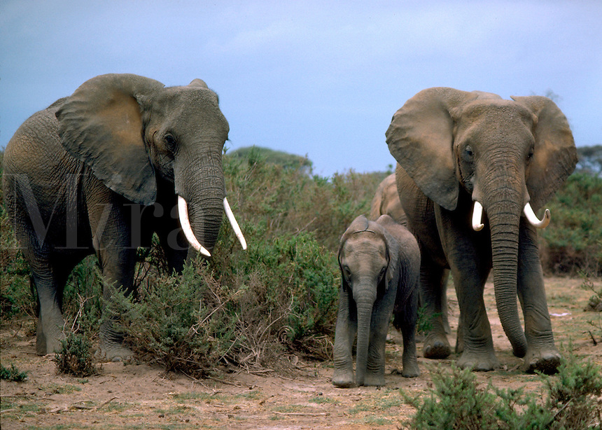 African, wild animal. An elephant family goes for a walk at Amboseli National Park in Kenya. Ivory, tusks. Amboseli, Kenya Amboseli National Park.