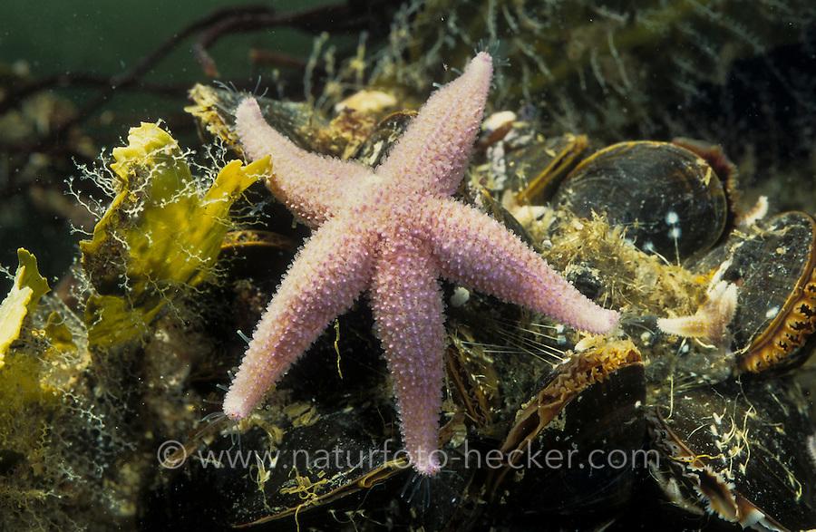 Gemeiner Seestern, frisst auf Miesmuschel, Miesmuscheln, Asterias rubens, common starfish, common sea star, Mytilus edulis, blue mussel