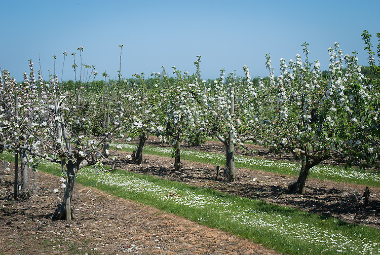 Apple trees at the National Fruit Collection, Brogdale, Kent, early May.