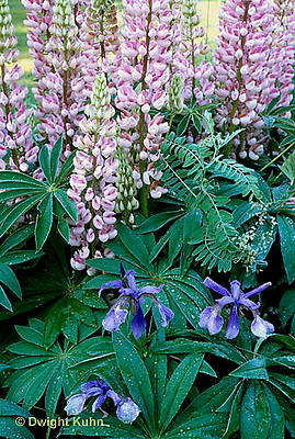HB05-182x  English Cottage Garden - bearded iris, lupines -  Iris spp., Lupinus spp.