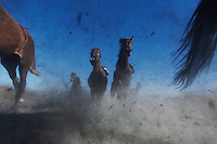 Horses kick up dirt as they gallop through the dry Nevada desert.