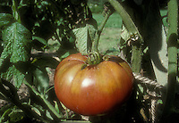 Tomatoes Pruden's Purple potato leaved heirloom variety ripe and on plant in garden