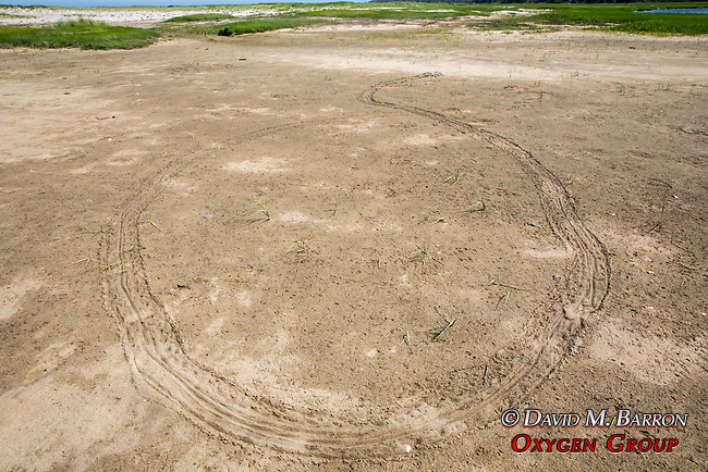 Male & Female Horseshoe Crabs Mating & Their Prints