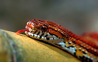 Detail of the head of a Corn snake.