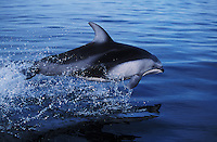 nb114. Pacific White-sided Dolphin (Lagenorhynchus obliquidens) leaping. British Columbia, Canada, Pacific Ocean..Photo Copyright © Brandon Cole.  All rights reserved worldwide.  www.brandoncole.com..This photo is NOT free. It is NOT in the public domain...Rights to reproduction of photograph granted only upon payment of invoice in full.  Any use whatsoever prior to such payment will be considered an infringement of copyright...Brandon Cole.Marine Photography.http://www.brandoncole.com.email: brandoncole@msn.com.4917 N. Boeing Rd..Spokane Valley, WA 99206   USA..tel: 509-535-3489