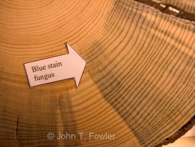 Blue fungus stain made by Mountain Pine Beetle in Lodgepole Pine tree.