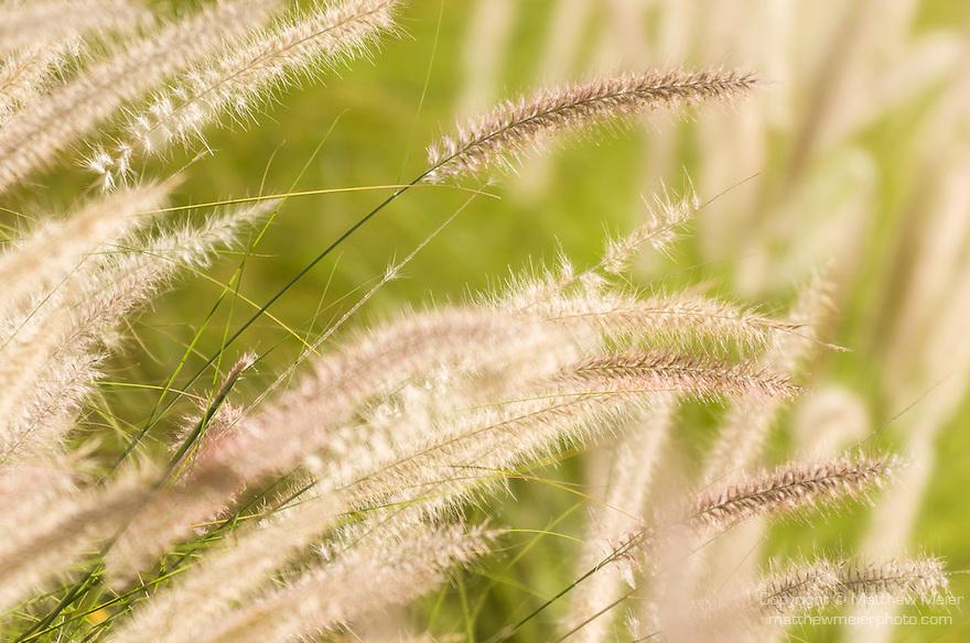 Tucson, Arizona; Deer Grass (Muhlenbergia rigens) backlit by the sun