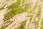Tucson, Arizona; Deer Grass (Muhlenbergia rigens) backlit by the sun