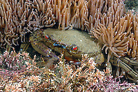Velvet Swimming Crab - Necora puber