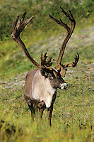 Caribou (Rangifer tarandus)