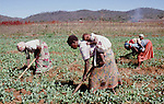(96/39/09)-CA Shamrock-Chegutu-Zimbabwe - June 27, 1996 -- Women/mothers carrying their children while working/weeding on a plot with peas; FNS/SAN, agriculture, rural, labour, people -- Photo: © HorstWagner.eu