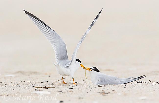 Least Terns (Sternula antillarum) pair at nest, male feeding fish to incubating female, northern Massachusetts, USA