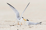 Least Terns (Sternula antillarum) pair at nest, male feeding fish to incubating female, northern Massachusetts, USA