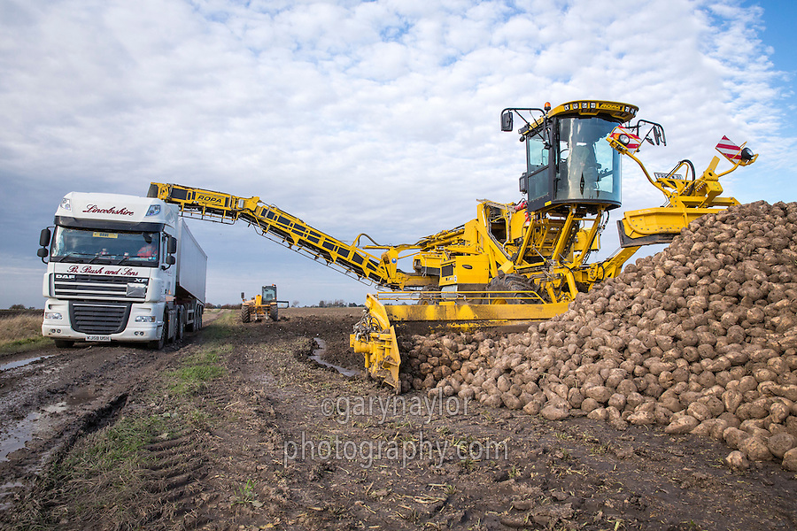 Loading Sugar beet with a Ropa Euro Maus 4 - Lincolnshire, October