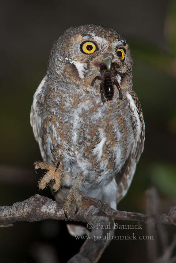 Elf Owl (0493) | Paul Bannick