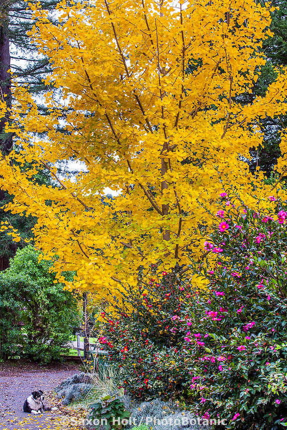 Gingko biloba 'Fairmont' in golden fall color with Sasanqua camellias in California garden with dog