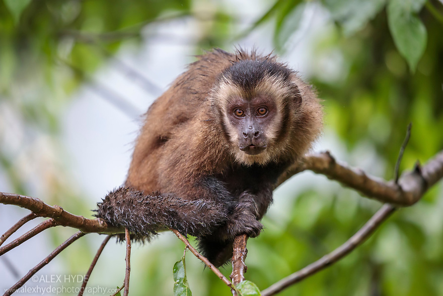Brown / Tufted Capuchin (Cebus apella) in cloud forest, Manu Biosphere Reserve, Peru.