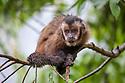 Brown / Tufted Capuchin (Cebus apella) in cloud forest, Manu Biosphere Reserve, Peru.