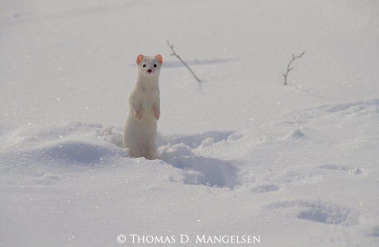 An ermine standing in the snow in Grand Teton National Park, Wyoming.