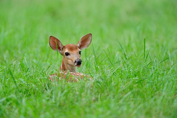 White-tailed Deer (Odocoileus virginianus), fawn, New Braunfels, San Antonio, Hill Country, Central Texas, USA