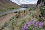 Lupine and sage along an old ranch road, John Day River, Oregon.